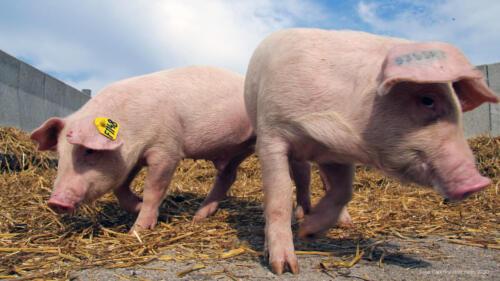 Leicoma Strohschweine von der Gimritzer Zucht nahe Halle